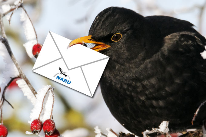 Amsel im Winter mit Brief - Foto: Mike Lane/fotolia